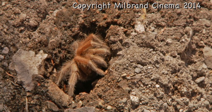 Tarantula at the entrance to its den.