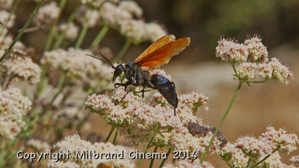 A tarantula hawk wasp feeding along the top of a milkweed plant.