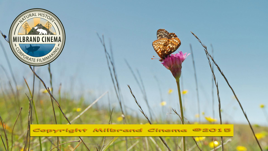 Bay Checkerspot feeding on onion with Logo and Copyright