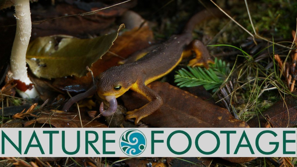 Milbrand Cinema Nature Footage of California Newt