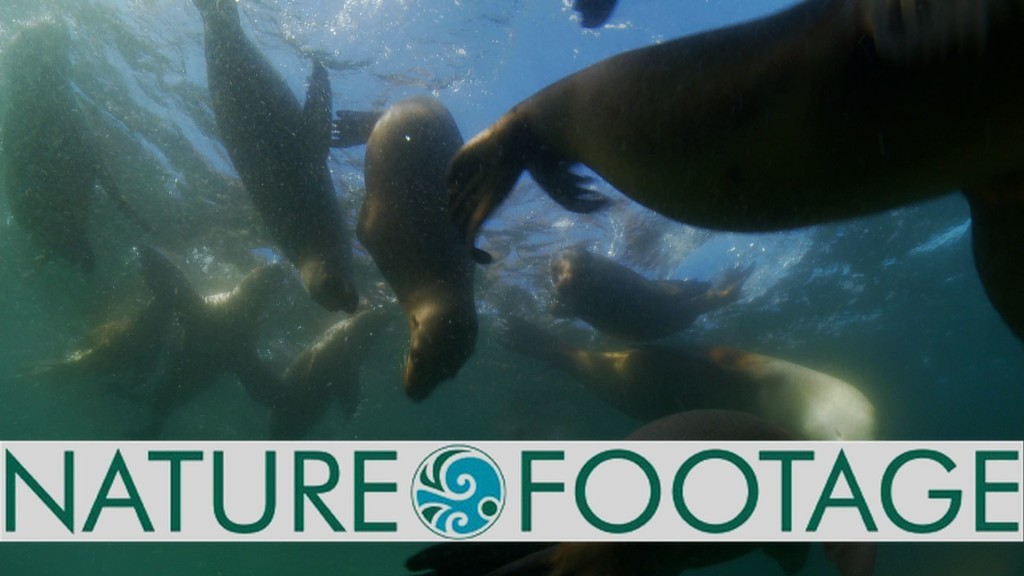 Milbrand Cinema Nature Footage of Sea Lions